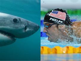מייקל פלפס נגד כריש לבן. מי ניצח?