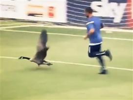 מה קורה כשאווז פורץ למגרש?